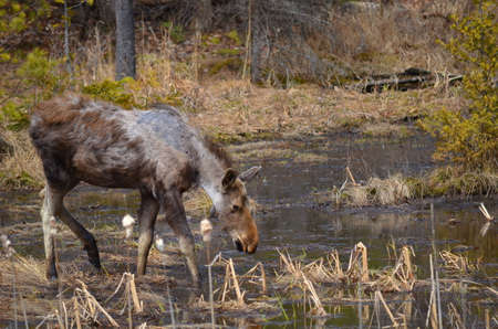 Moose calf in Algonquin Park 版權商用圖片