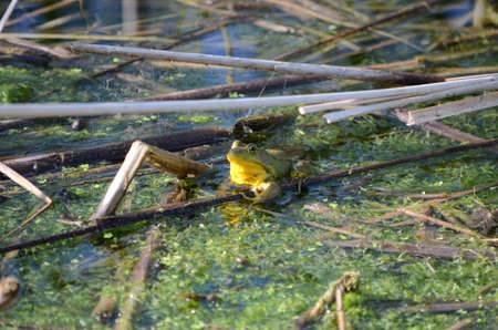 Green frog, male, with yellow throat during breeding season, Ontario, Stock Photo