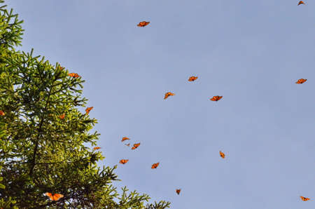 Monarch Butterflies in flight around trees, Michoacan, Mexico