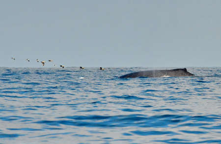 Humpback whale swimming on the surface of the Pacific Ocean Stock Photo