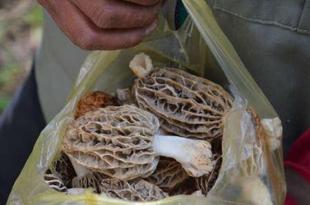 Common morel fungus (Morchella esculenta) freshly picked in Mexico