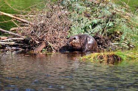 Castor travaillant sur Beaver Lodge