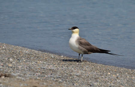 Long-tailed jaeger on the shore of Lake Ontario, Ontario, Canada