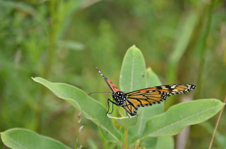 Female Monarch Butterfly laying eggs on millkweed