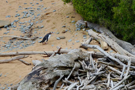 Yellow-eyed penguin colony in Oamaru, South Island, New Zealand 版權商用圖片