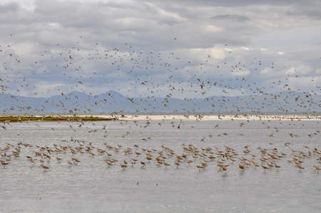 Large flock of Bar-tailed godwits in flight