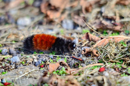 Woolly Bear Caterpillar on the move