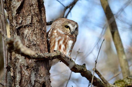 Northern Saw-whet Owl in the wild