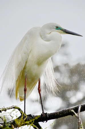 White Heron standing on a tree Stock Photo
