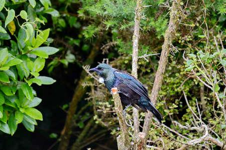 Tui bird on a bush