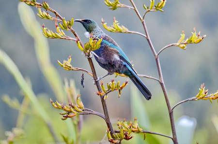 Tui bird on a flowering bush