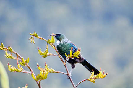 Tui bird on a flowering bush