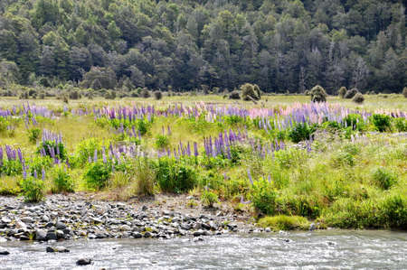 Lupines of Eglinton River, South Island, New Zealand