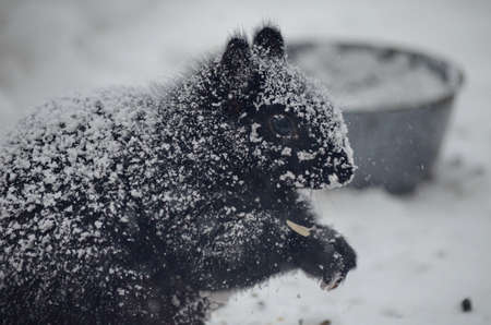 Black squirrel in a blinding snowstorm