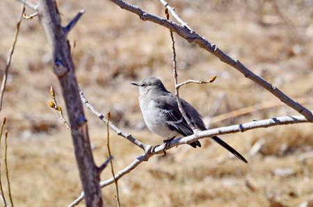 Northern Mockingbird sitting in tree Stock Photo