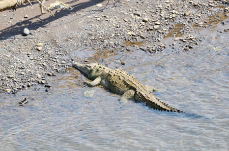 Wild American Crocodile Stock Photo