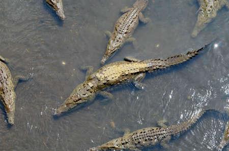 Wild American Crocodiles