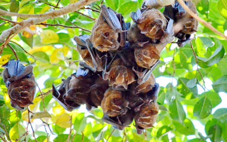 Tent-making bats hanging from a tree