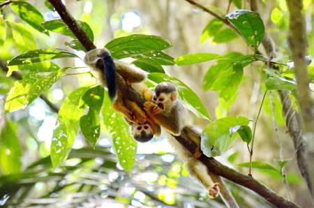 Squirrel monkey in jungle Banco de Imagens - 124861792
