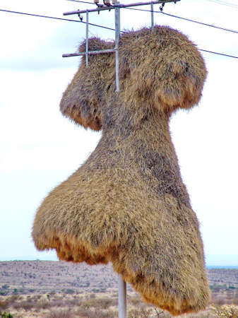 Nest of sociable weaver birds on a telephone pole in the Kalahari Desert, South Africa