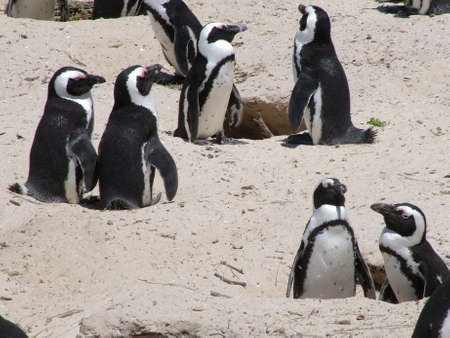 African penguins, South Africa Standard-Bild - 124862096