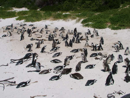 African penguins, South Africa