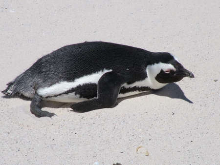 African penguin, South Africa Stock Photo
