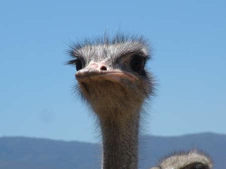 Ostrich near Heidelberg, Western Cape Province, South Africa