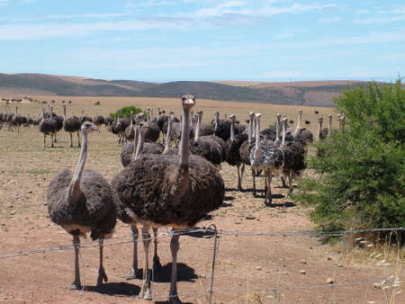 Group of ostriches near Heidelberg, Western Cape Province, South Africa Standard-Bild - 124862113