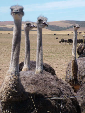 Group of ostriches near Heidelberg, Western Cape Province, South Africa