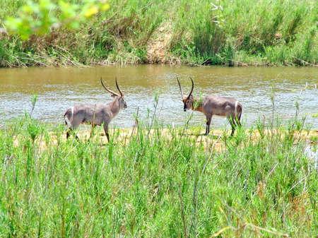 Waterbuck (antelope) on morning game drive safari, Kruger, South Africa Standard-Bild - 124862139