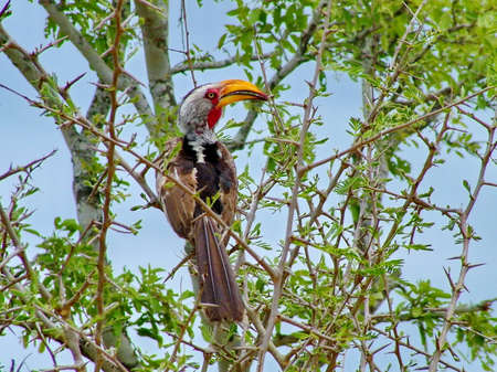 Southern yellow-billed hornbill sighted during game drive, South Africa