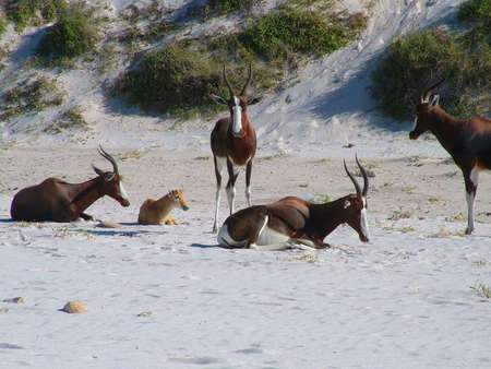 Herd of blesbok near Cape Town, South Africa Stock Photo