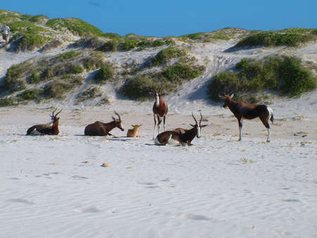 Herd of blesbok near Cape Town, South Africa Imagens