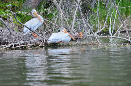 American white pelican along a river in Northern Saskatchewan, Canada.