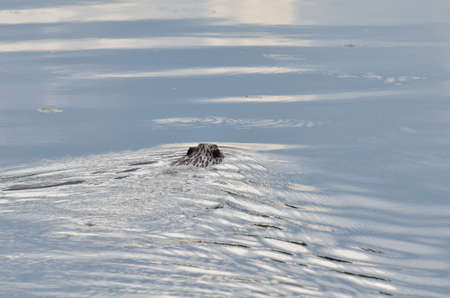 Beaver swimming with tree branch