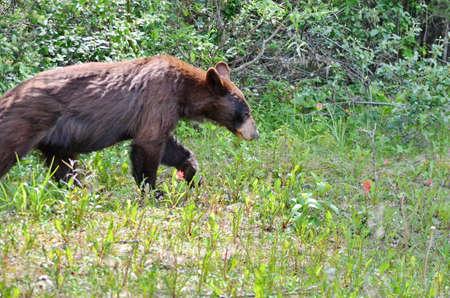 Brown Coloured Black Bear in Jasper National Park 免版税图像