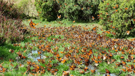 Monarch Butterflies on the ground at El Rosario Monarch Butterfly Preserve 写真素材