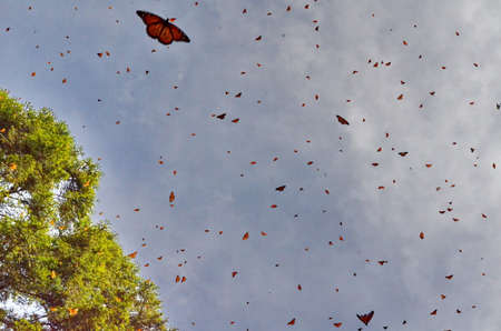 Monarch Butterflies in flight at El Rosario Monarch Butterfly Preserve 写真素材