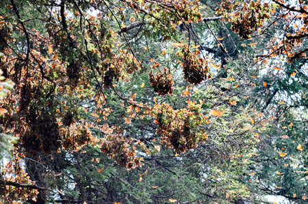 Monarch Butterflies on the trees at El Rosario Monarch Butterfly Preserve