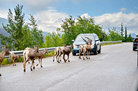 Mountain Goat herd on a paved road in Jasper National Park
