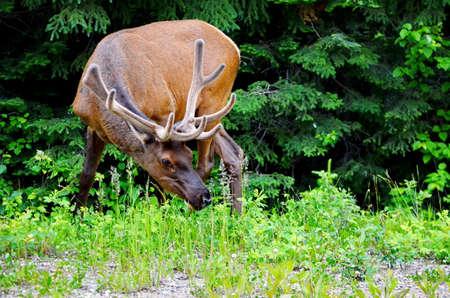 Elk in meadow, Prince Albert National Park Imagens