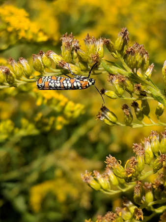 Ailanthus webworm moth on yellow flower in Toronto, Ontario, Canada