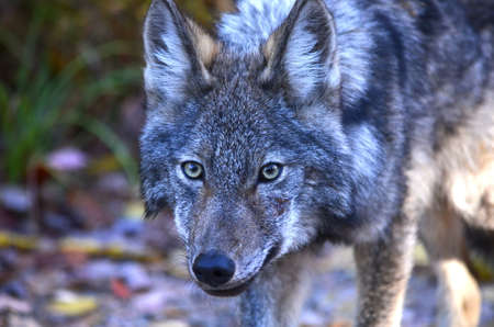 An eastern wolf in Algonquin Park in Ontario, Canada