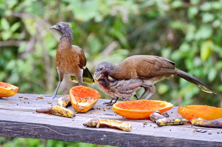 Grey-headed Chachalaca forage with young at feeder platform, Costa Rica Stock fotó