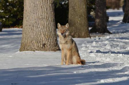 Wild Coyote in the winter in Ontario, Canada. Standard-Bild