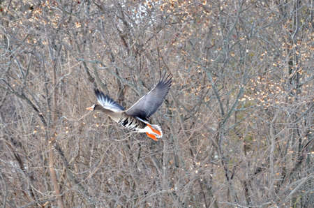 Greater White-fronted Goose flying at Bluffers Park, Toronto, Ontario, Canada