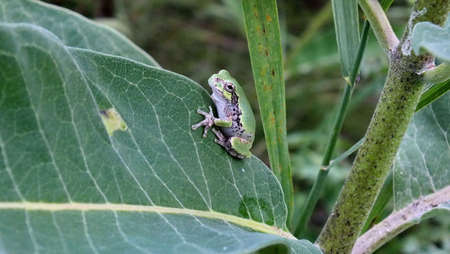 Gray Tree Frog on a milkweed plant in Ontario, Canada.