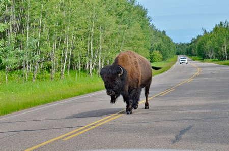 Plains Bison in Elk Island National Park in Alberta, Canada.
