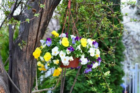 hanging basket: petunia flowers in hanging basket